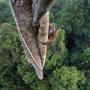 A 2016-os év természetfotós nagydíját Tim Laman nyerte ezzel a fotóval, amin a kihalás szélén álló borneói orangutánok egyik egyede látható egy indonéziai esőerdő fölé magasodó fán.